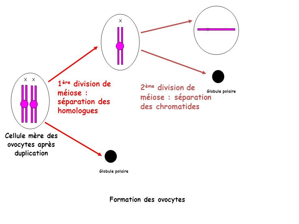 Cellule mère des ovocytes après duplication