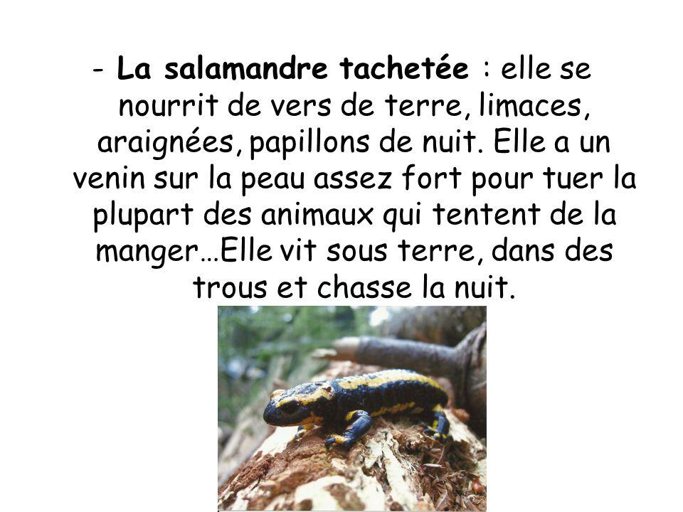 La salamandre tachetée : elle se nourrit de vers de terre, limaces, araignées, papillons de nuit.