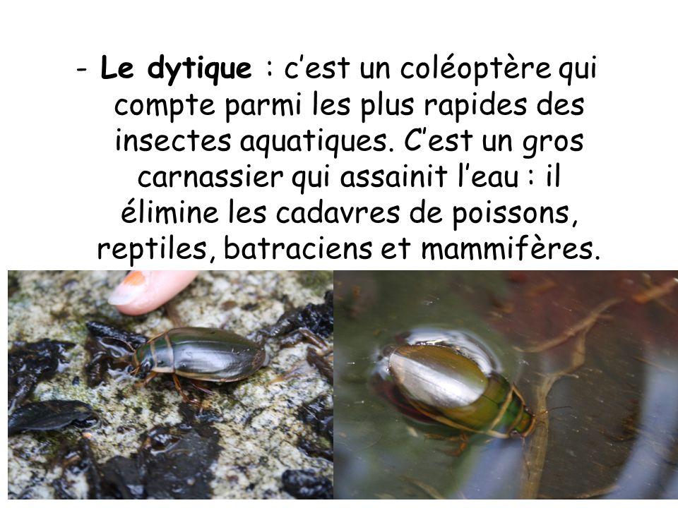Le dytique : c'est un coléoptère qui compte parmi les plus rapides des insectes aquatiques.