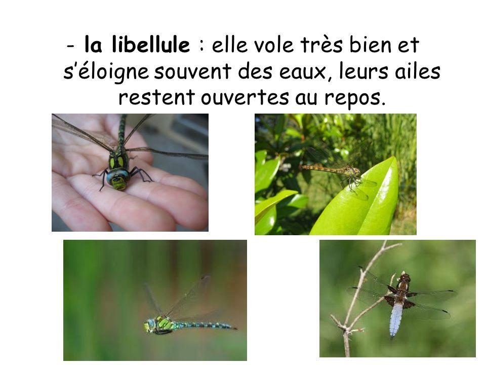 la libellule : elle vole très bien et s'éloigne souvent des eaux, leurs ailes restent ouvertes au repos.