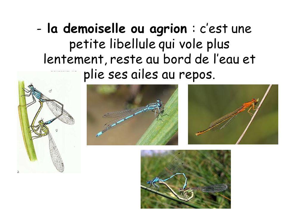 la demoiselle ou agrion : c'est une petite libellule qui vole plus lentement, reste au bord de l'eau et plie ses ailes au repos.