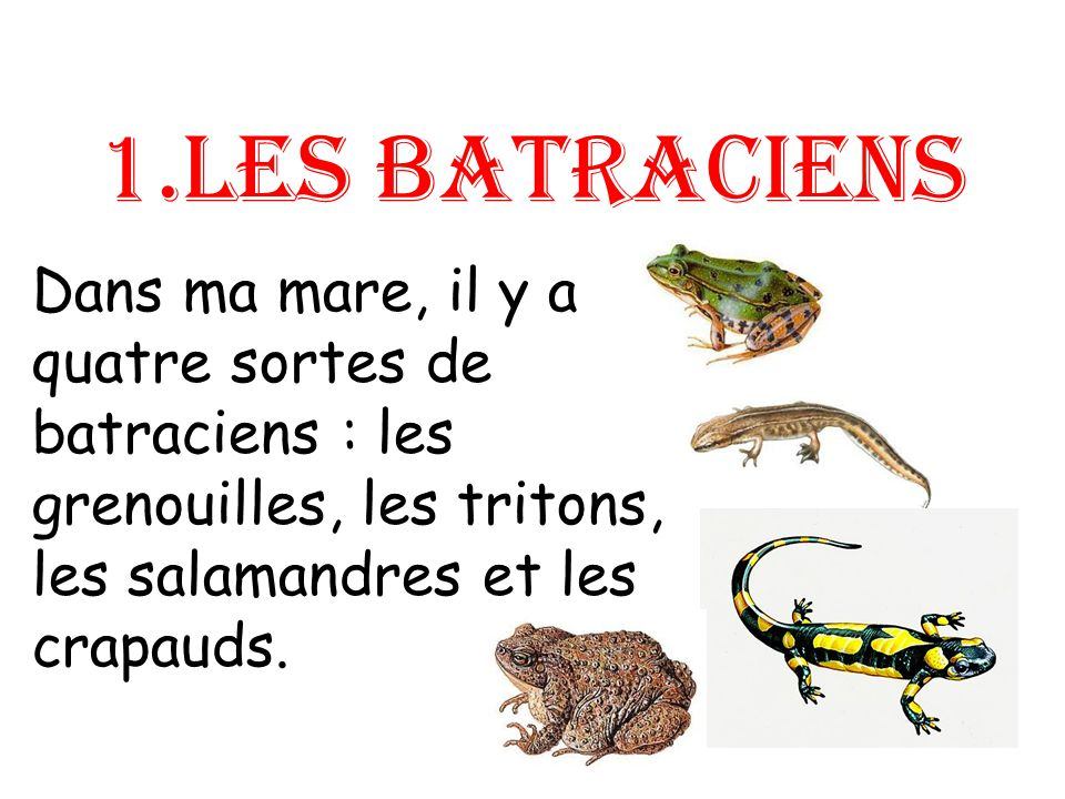 1.Les batraciens Dans ma mare, il y a quatre sortes de batraciens : les grenouilles, les tritons, les salamandres et les crapauds.