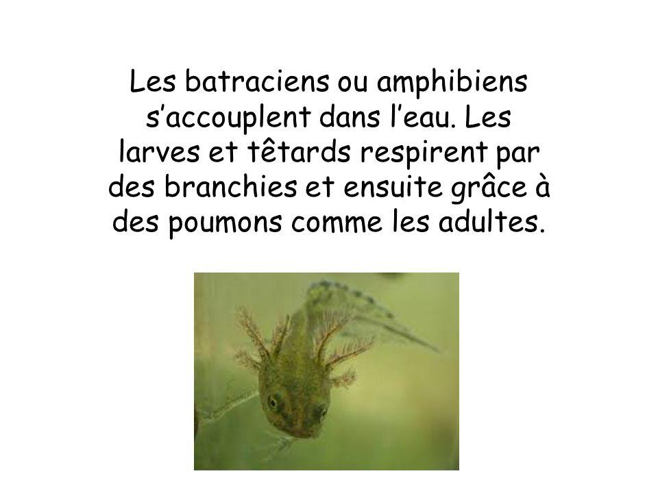 Les batraciens ou amphibiens s'accouplent dans l'eau