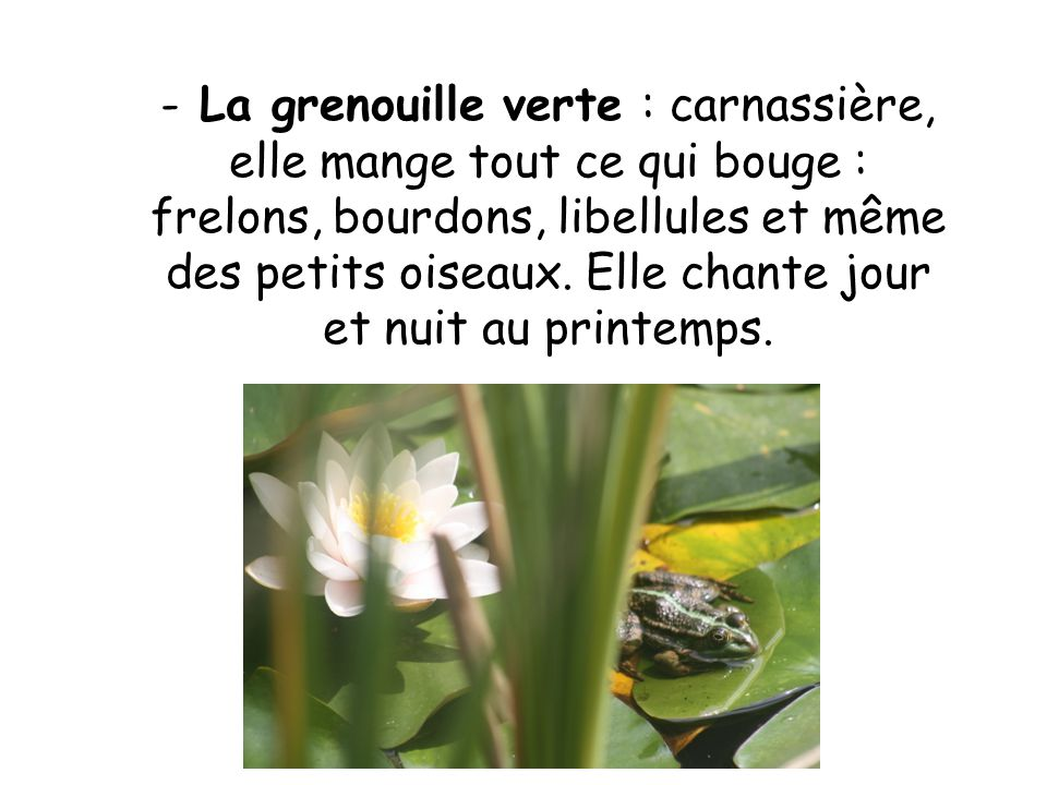 La grenouille verte : carnassière, elle mange tout ce qui bouge : frelons, bourdons, libellules et même des petits oiseaux.