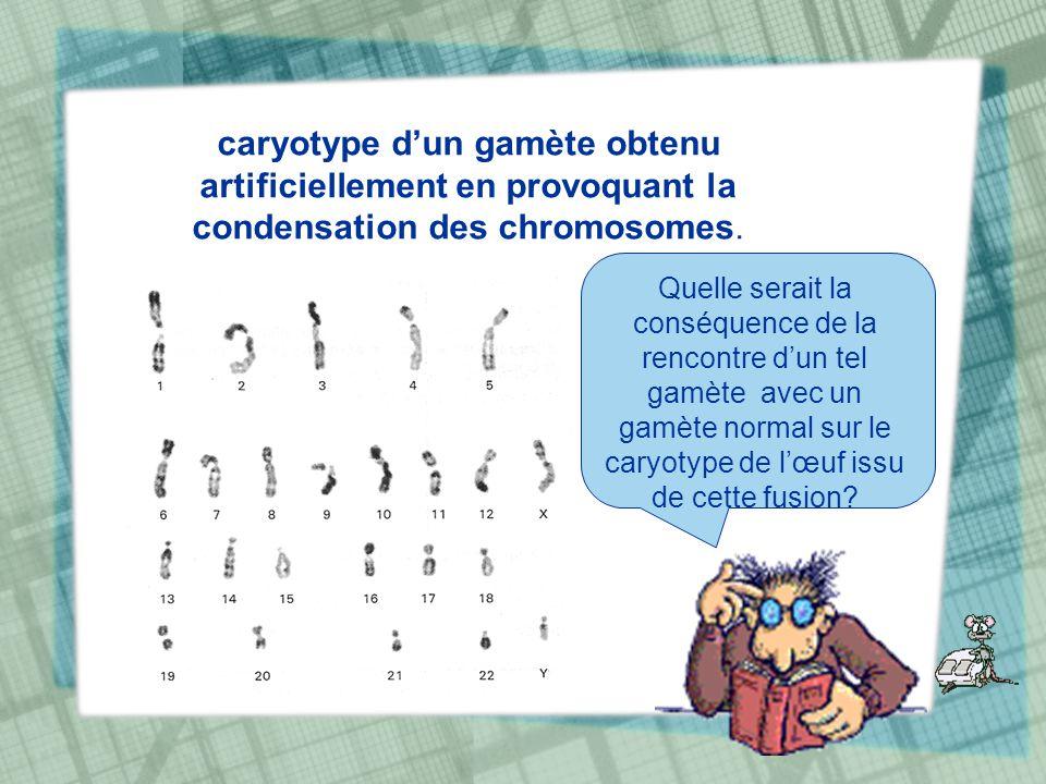 caryotype d'un gamète obtenu artificiellement en provoquant la condensation des chromosomes.
