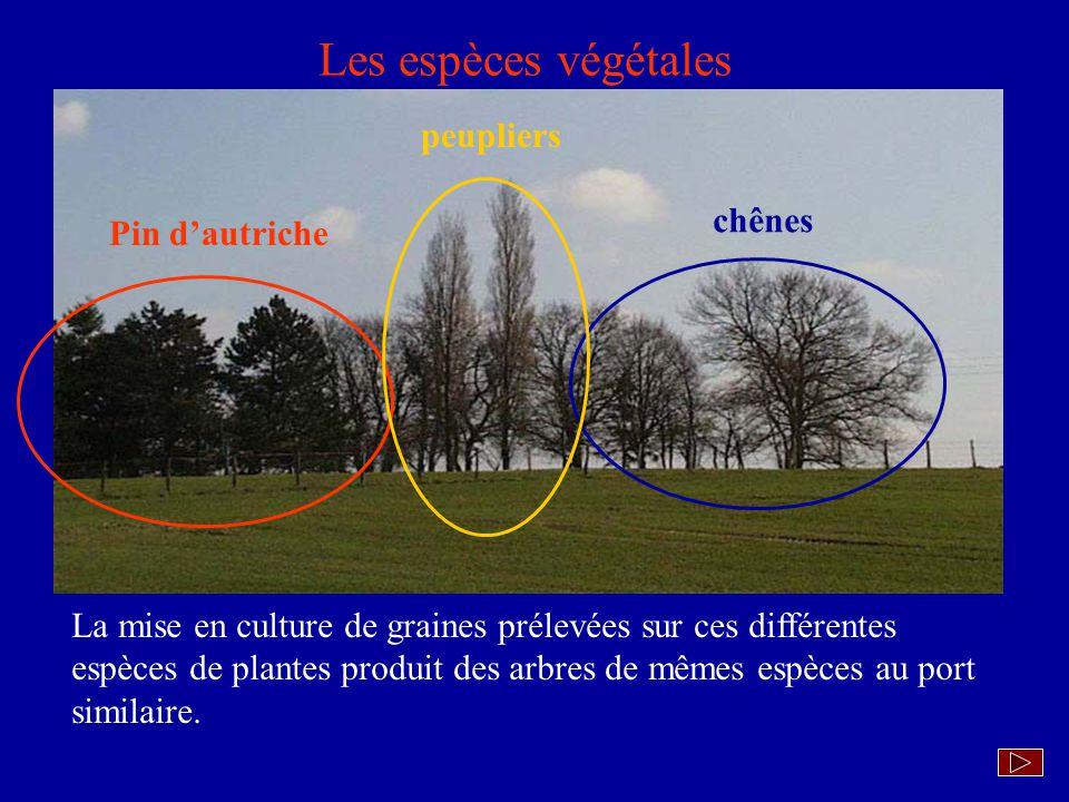 Les espèces végétales peupliers chênes Pin d'autriche