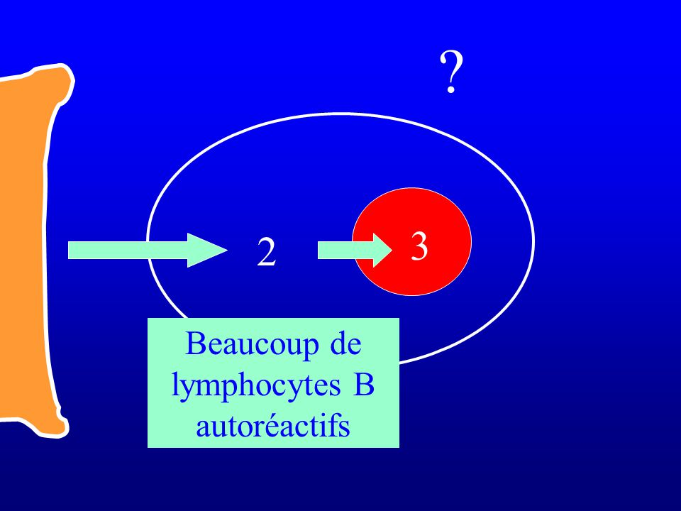 Beaucoup de lymphocytes B autoréactifs