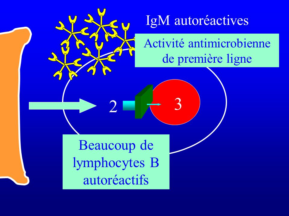 3 2 IgM autoréactives Beaucoup de lymphocytes B autoréactifs
