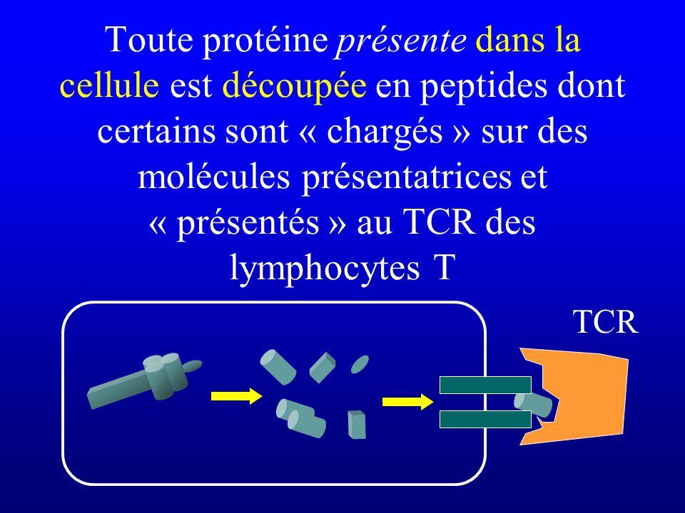 Toute protéine présente dans la cellule est découpée en peptides dont certains sont « chargés » sur des molécules présentatrices et « présentés » au TCR des lymphocytes T