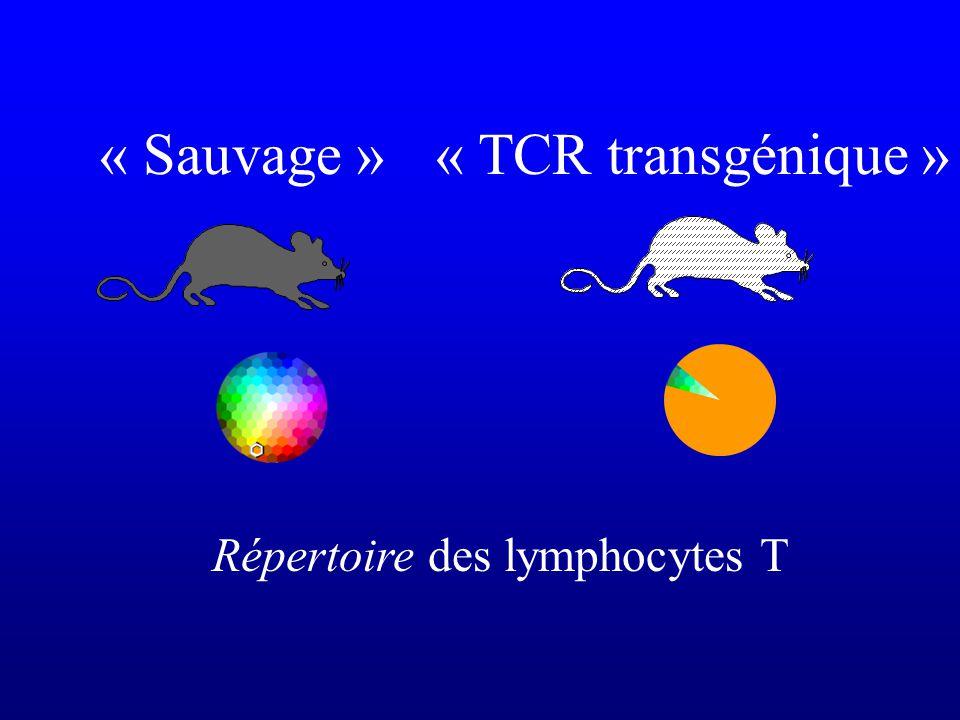 Répertoire des lymphocytes T