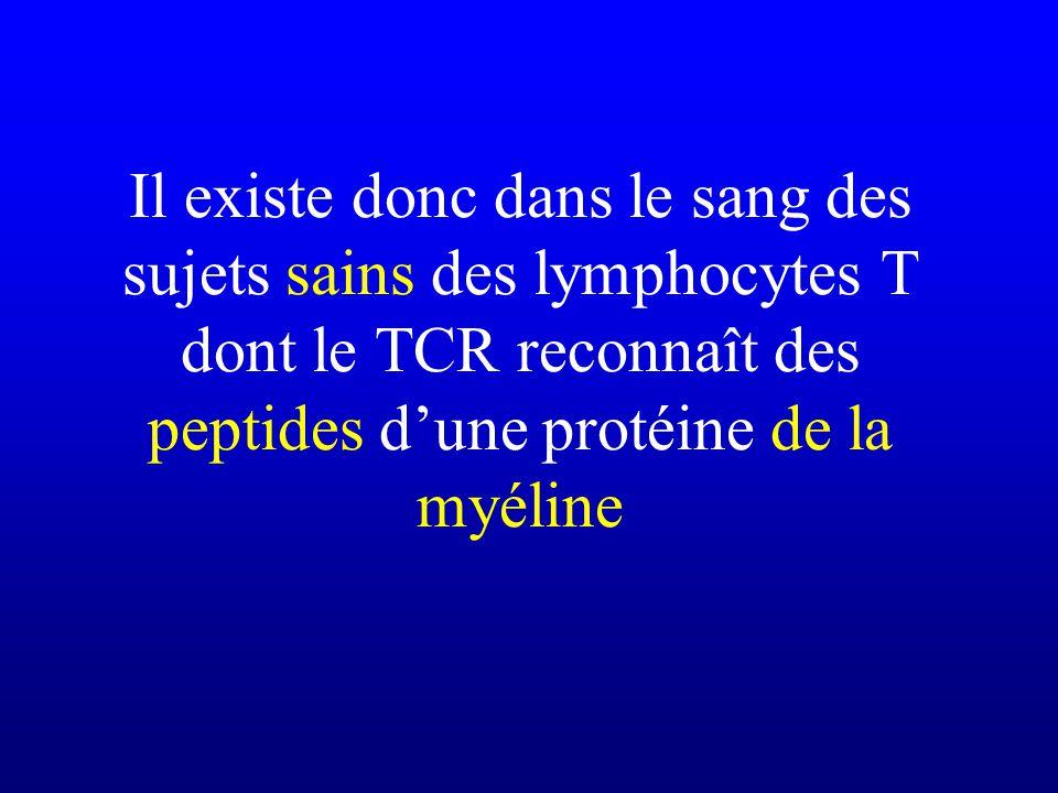 Il existe donc dans le sang des sujets sains des lymphocytes T dont le TCR reconnaît des peptides d'une protéine de la myéline