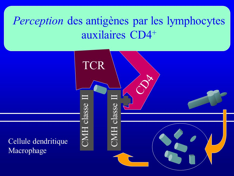 Perception des antigènes par les lymphocytes auxilaires CD4+