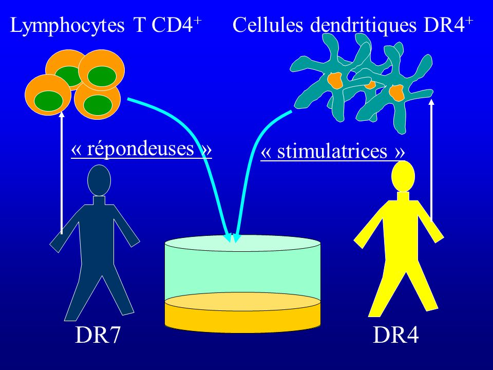 Cellules dendritiques DR4+