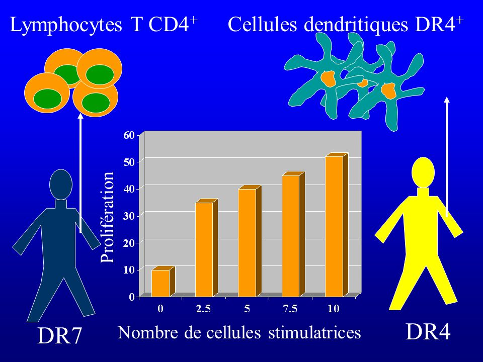 DR4 DR7 Lymphocytes T CD4+ Cellules dendritiques DR4+ Prolifération