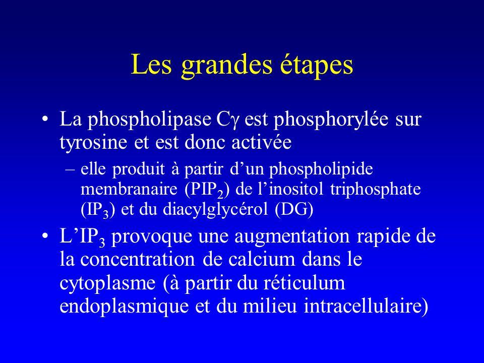 Les grandes étapes La phospholipase Cg est phosphorylée sur tyrosine et est donc activée.
