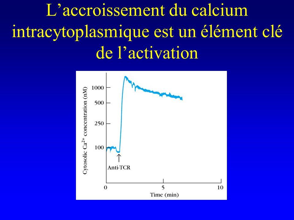 L'accroissement du calcium intracytoplasmique est un élément clé de l'activation