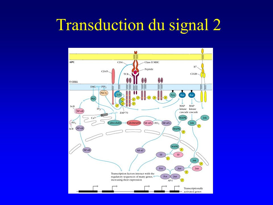 Transduction du signal 2