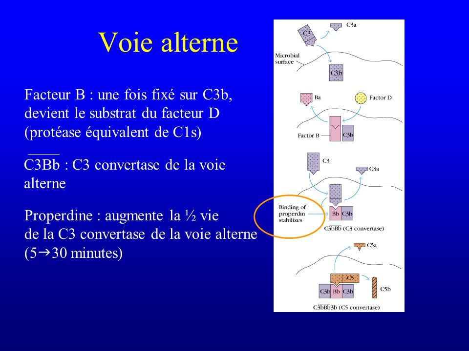 Voie alterne Facteur B : une fois fixé sur C3b, devient le substrat du facteur D (protéase équivalent de C1s)