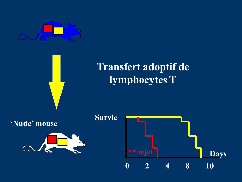 Transfert adoptif de lymphocytes T