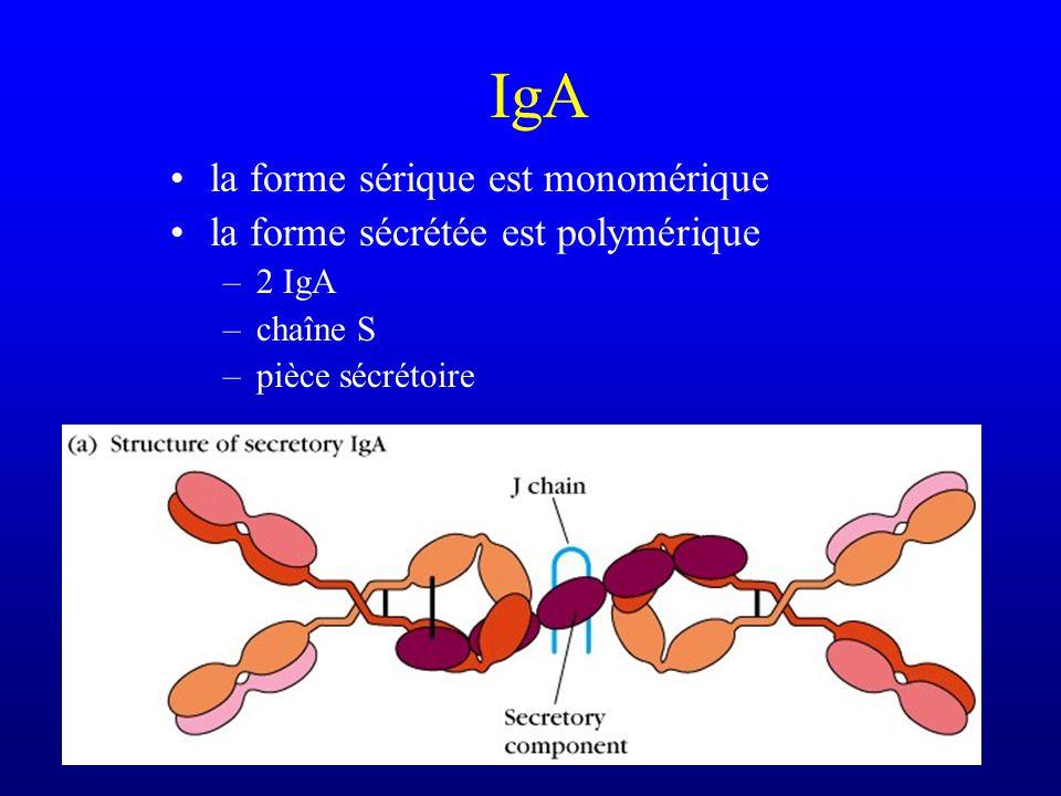 IgA la forme sérique est monomérique la forme sécrétée est polymérique