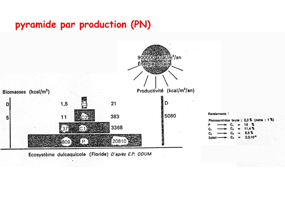pyramide par production (PN)