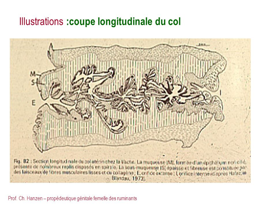 Illustrations :coupe longitudinale du col