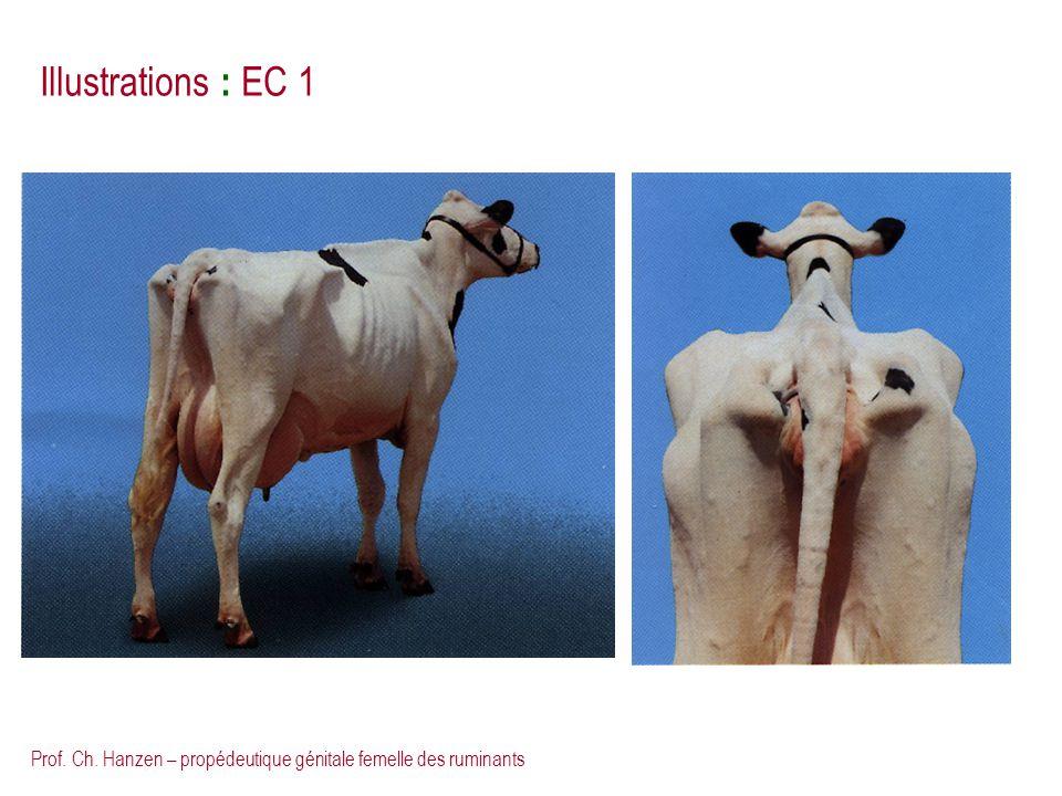 Illustrations : EC 1 Prof. Ch. Hanzen – propédeutique génitale femelle des ruminants
