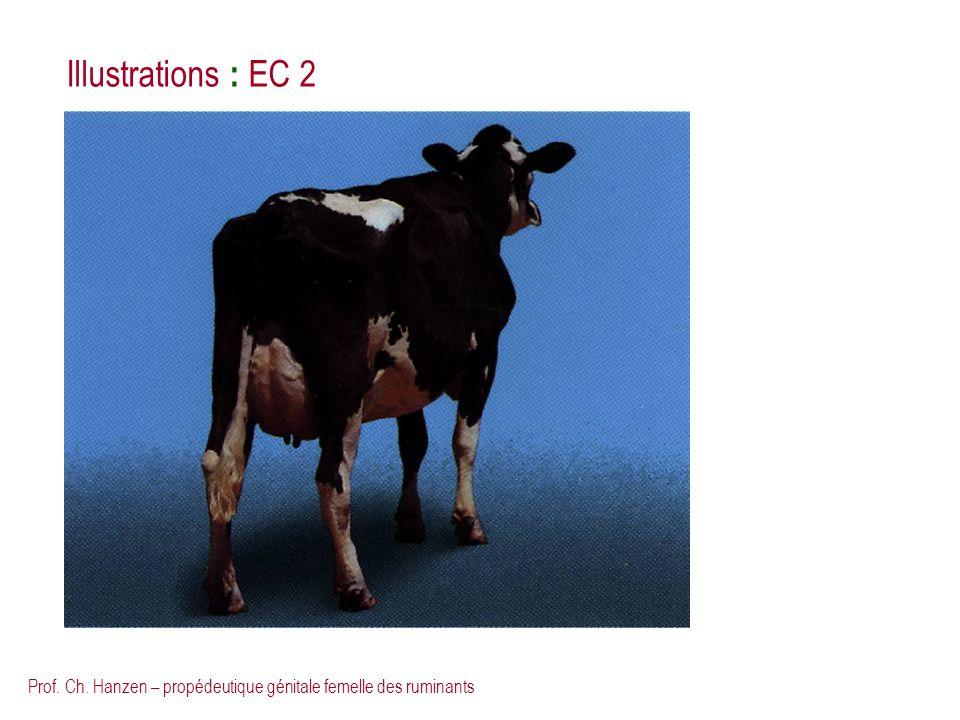 Illustrations : EC 2 Prof. Ch. Hanzen – propédeutique génitale femelle des ruminants