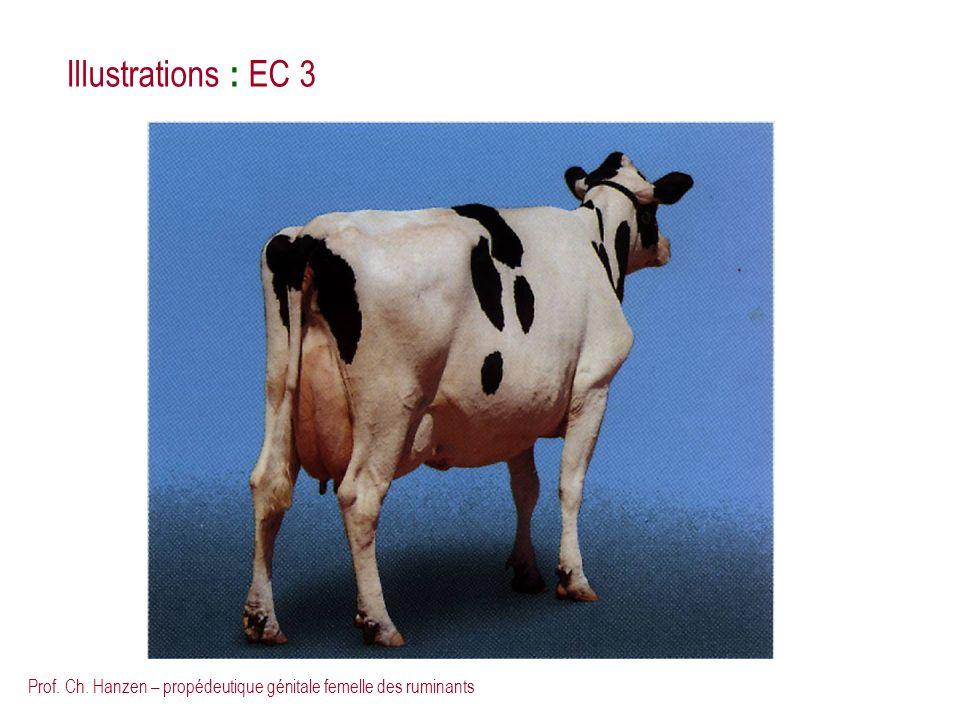 Illustrations : EC 3 Prof. Ch. Hanzen – propédeutique génitale femelle des ruminants
