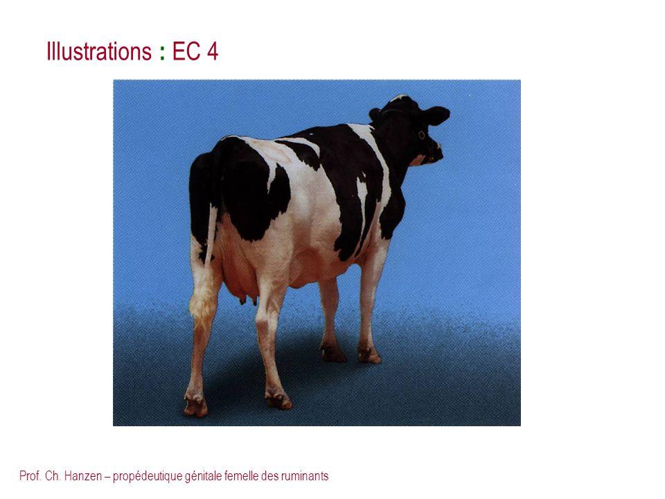 Illustrations : EC 4 Prof. Ch. Hanzen – propédeutique génitale femelle des ruminants