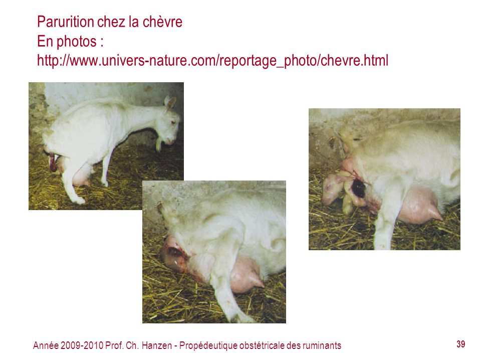 Parurition chez la chèvre En photos : http://www. univers-nature