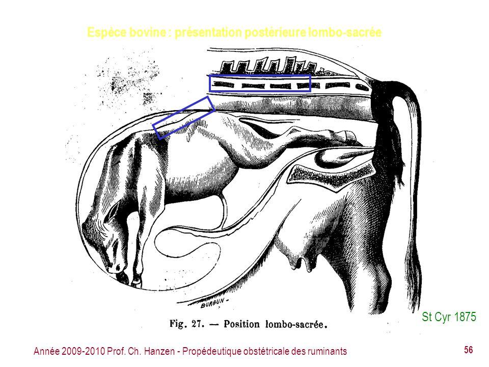 Espèce bovine : présentation postérieure lombo-sacrée