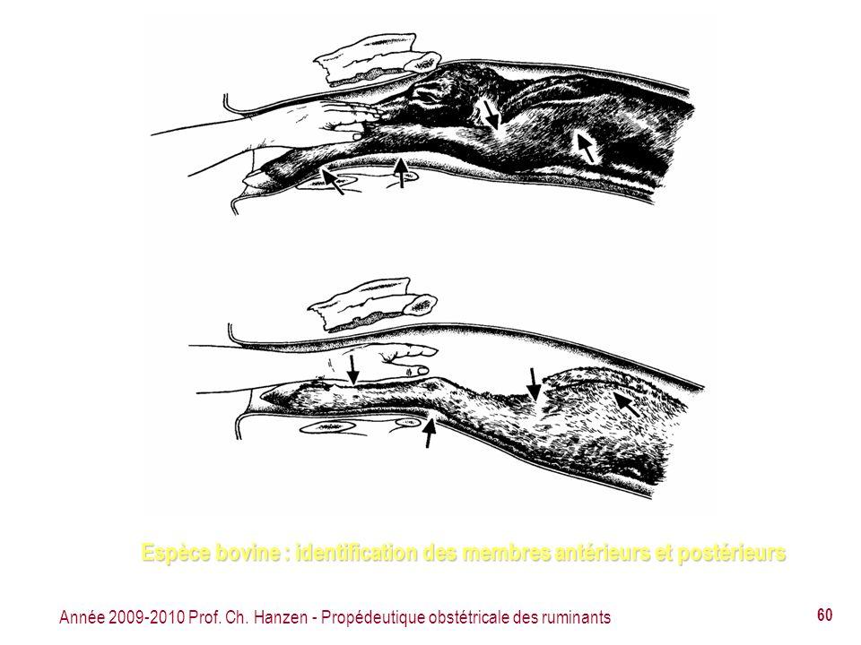 Espèce bovine : identification des membres antérieurs et postérieurs