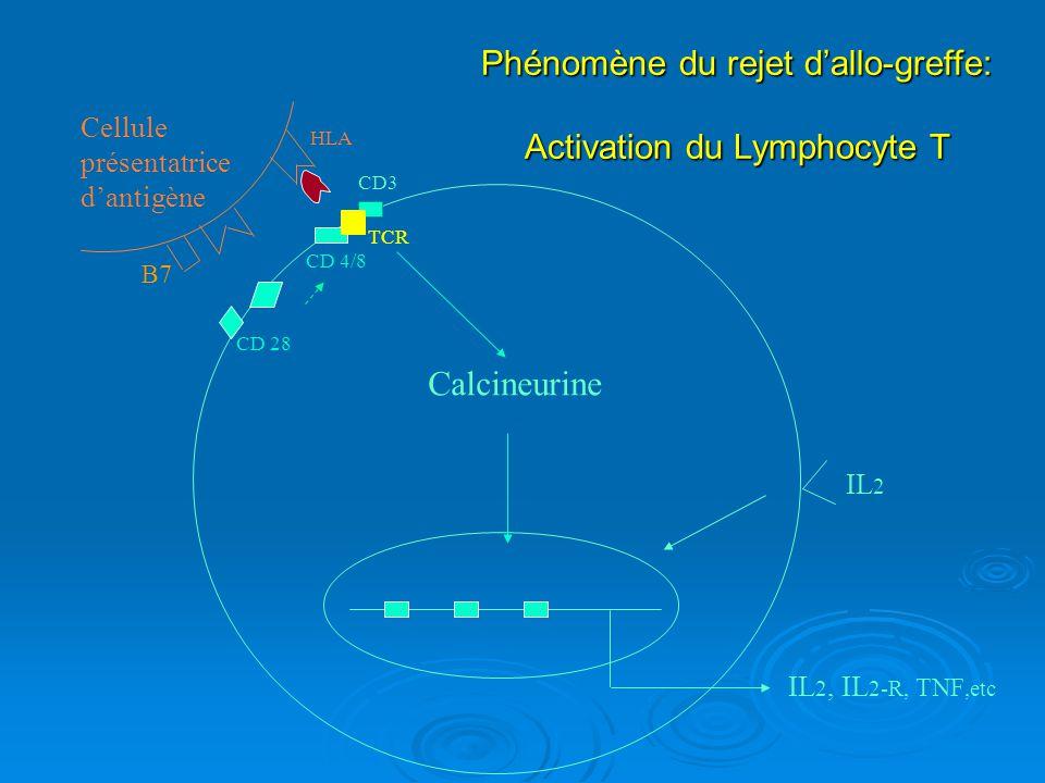 Phénomène du rejet d'allo-greffe: Activation du Lymphocyte T