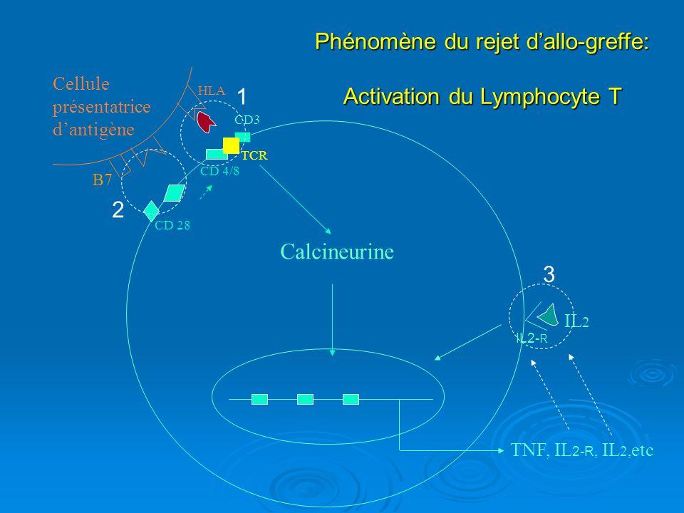 Phénomène du rejet d'allo-greffe: Activation du Lymphocyte T 1