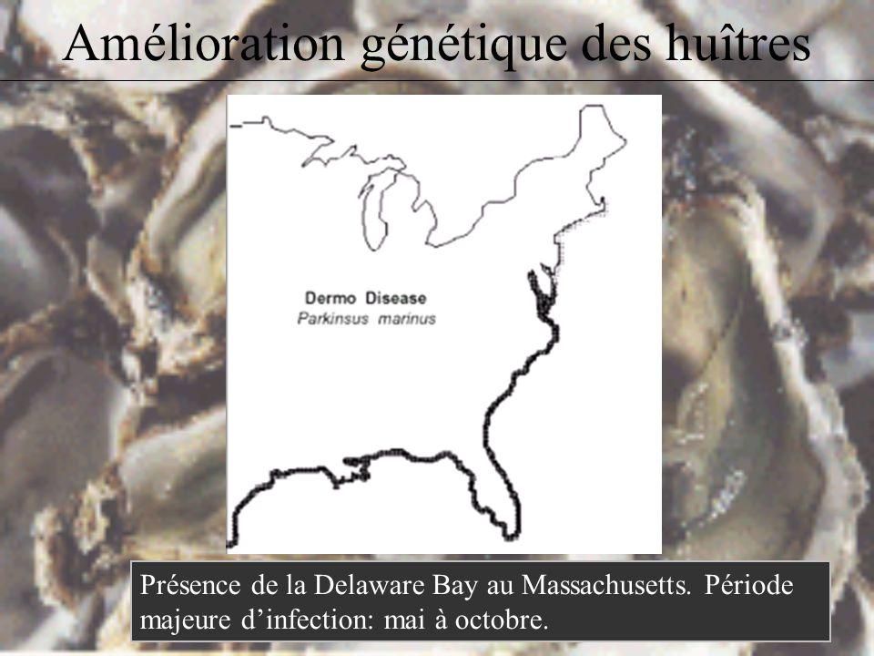 Amélioration génétique des huîtres