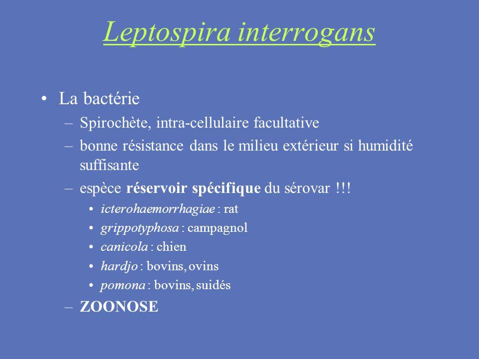 Leptospira interrogans