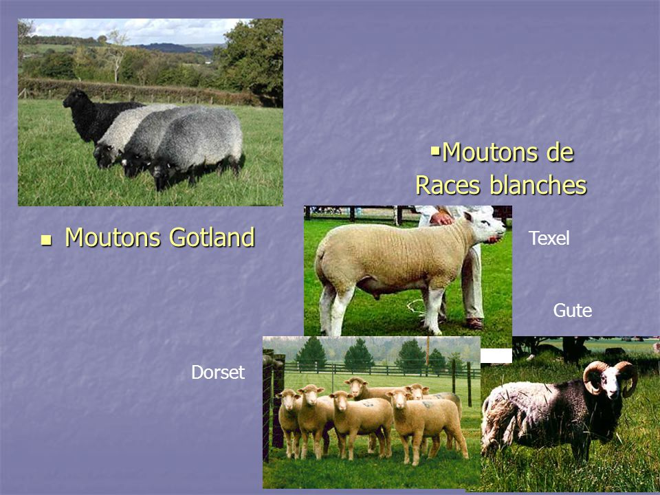 Moutons de Races blanches