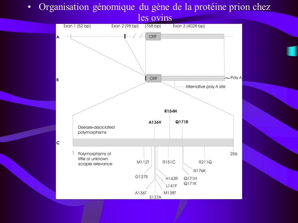 Organisation génomique du gène de la protéine prion chez les ovins