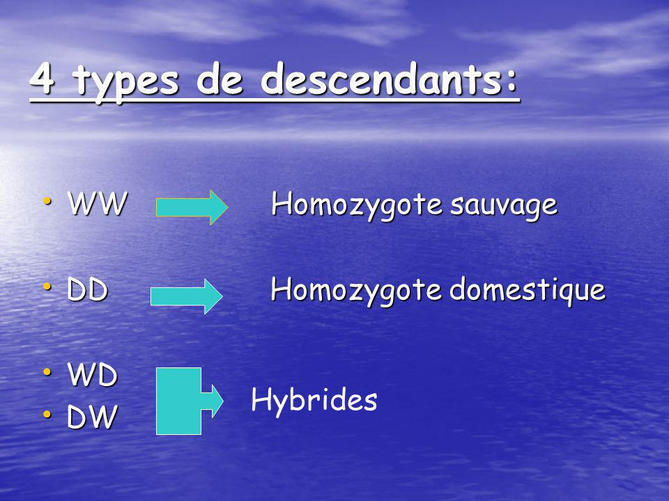 4 types de descendants: WW Homozygote sauvage DD Homozygote domestique