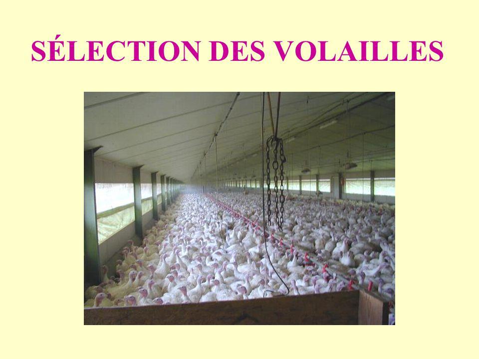 SÉLECTION DES VOLAILLES