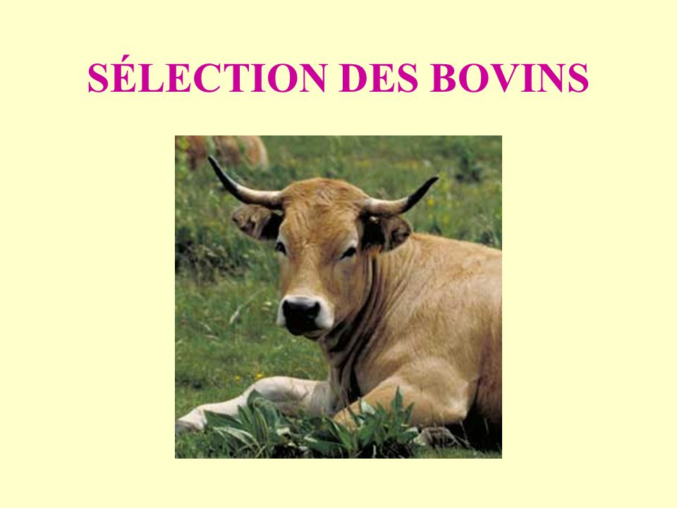 SÉLECTION DES BOVINS