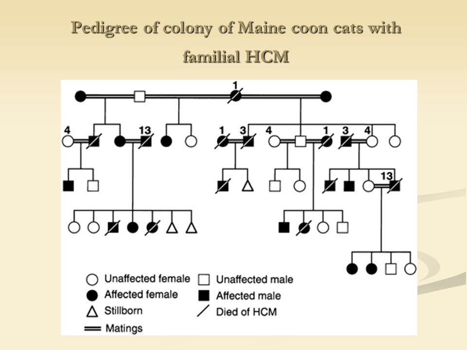 Pedigree of colony of Maine coon cats with familial HCM