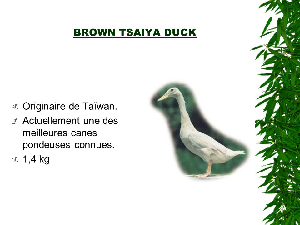 BROWN TSAIYA DUCK Originaire de Taïwan. Actuellement une des meilleures canes pondeuses connues.