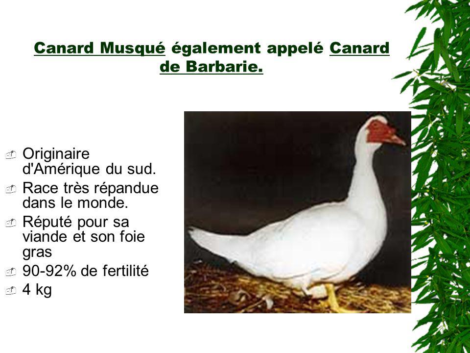 Canard Musqué également appelé Canard de Barbarie.