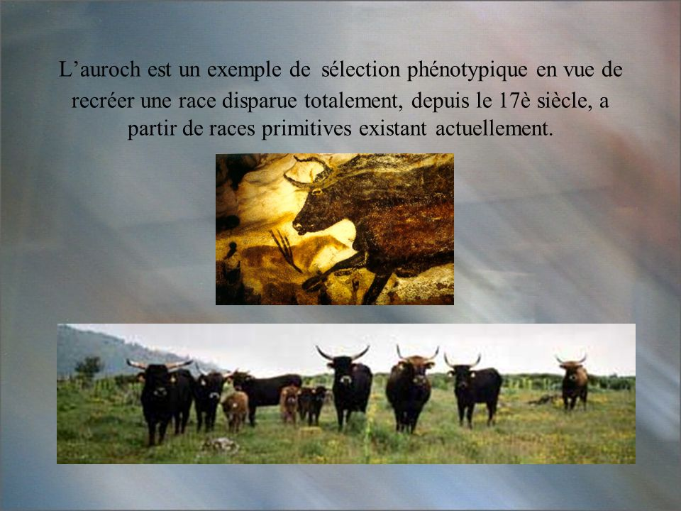 L'auroch est un exemple de sélection phénotypique en vue de recréer une race disparue totalement, depuis le 17è siècle, a partir de races primitives existant actuellement.