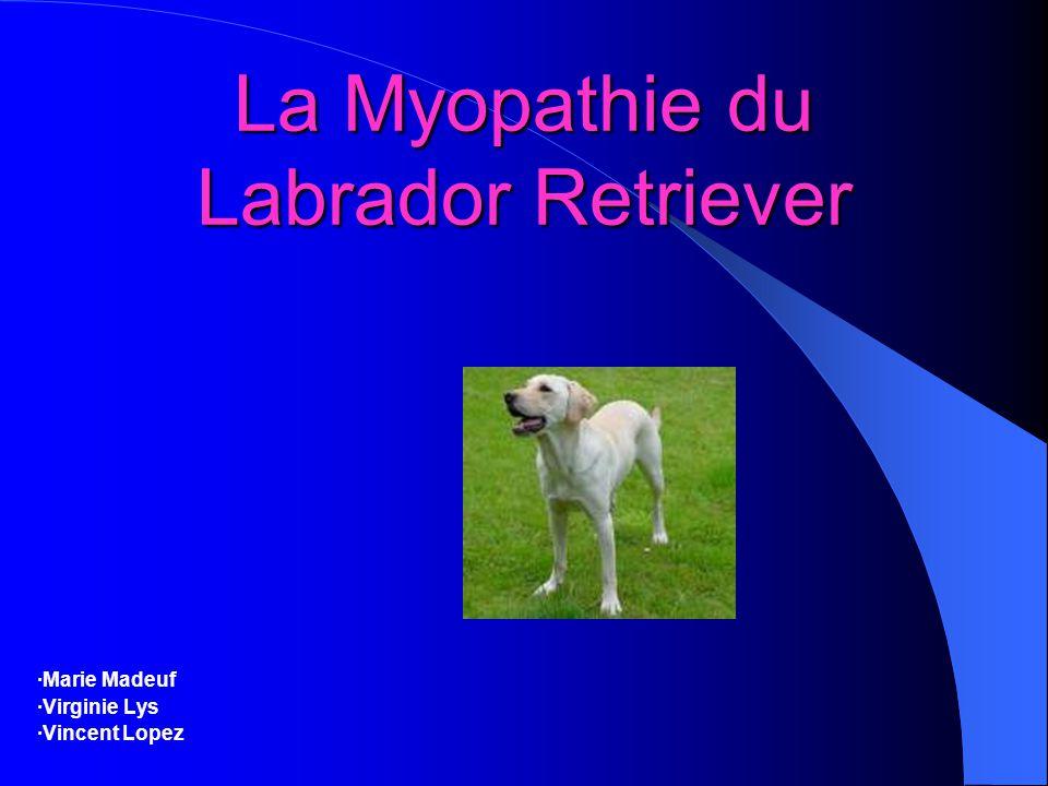 La Myopathie du Labrador Retriever