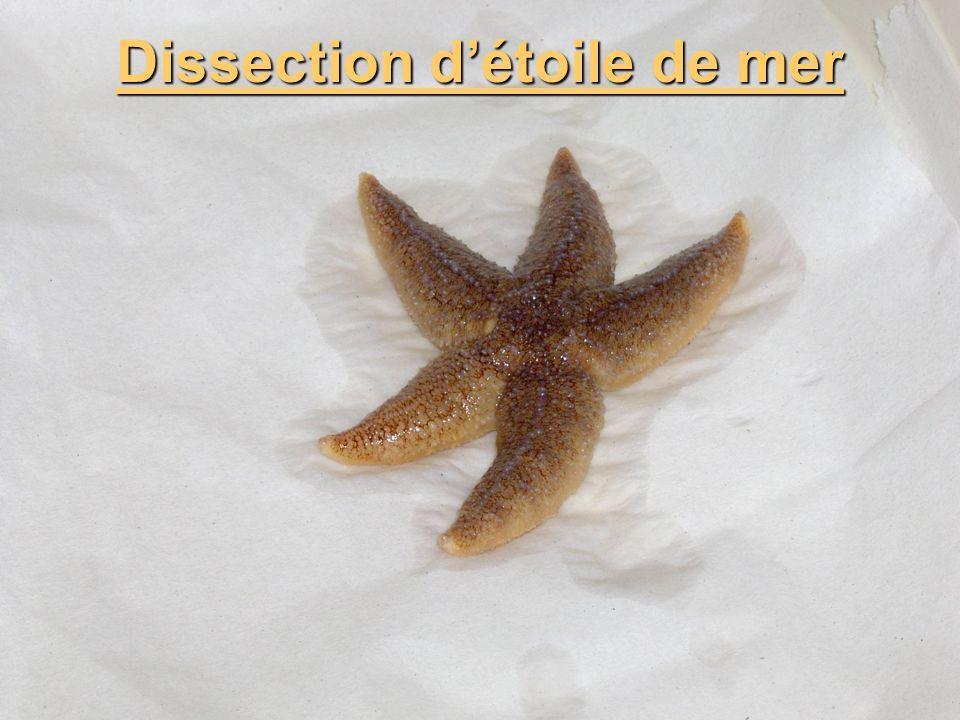 Dissection d'étoile de mer