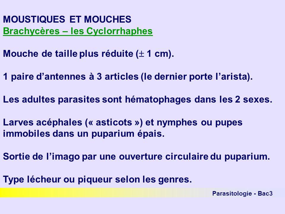 Brachycères – les Cyclorrhaphes