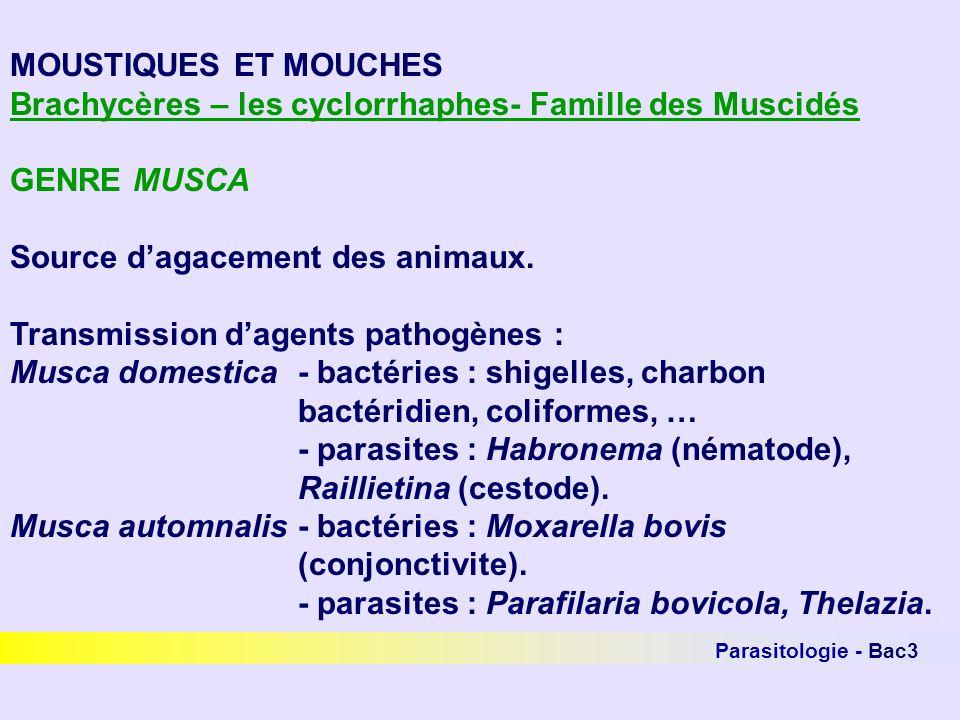 Brachycères – les cyclorrhaphes- Famille des Muscidés GENRE MUSCA